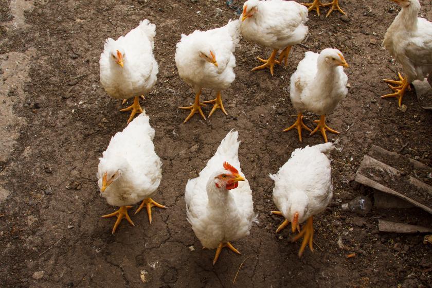 Bird flu hits Plateau poultry